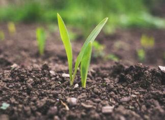 Zastosowanie preparatów kontrolujących wzrost roślin